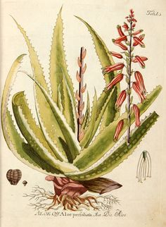 aloe-barbadensis