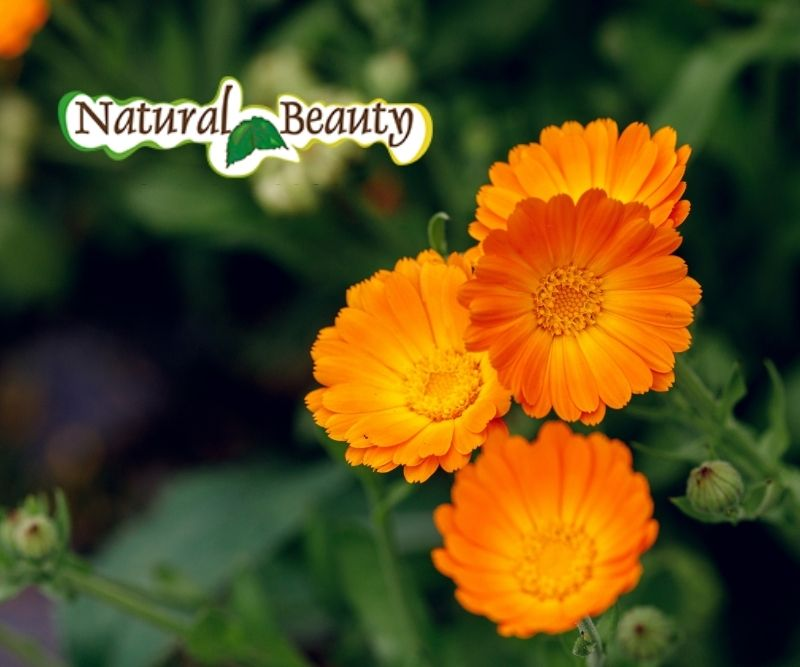 Calendula Benefici Proprieta